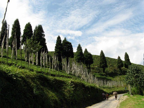 Tea garden in Sikkim India