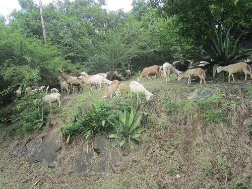 Herd of goats on St. John