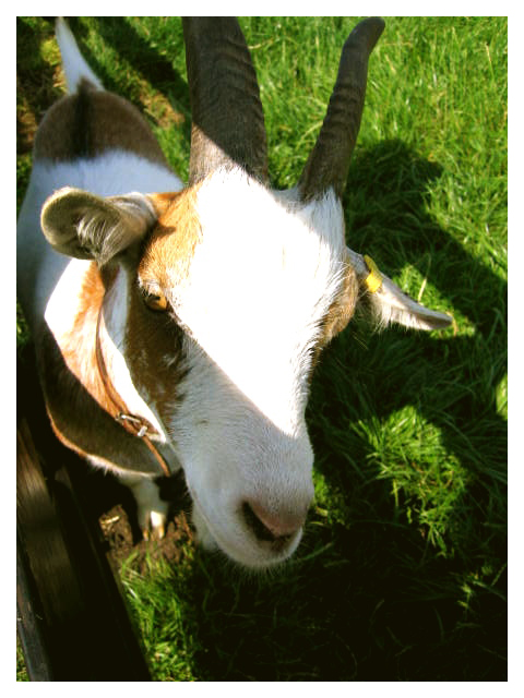 Goats from the countryside