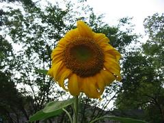 sunflower by Becky