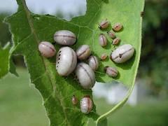 Milkweed Beetle Larvae