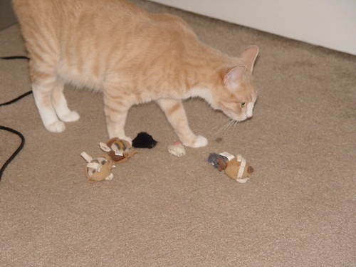 Nutmeg bringing out cat toys