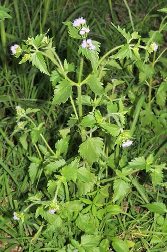 Praxelis clematidea (Praxelis)