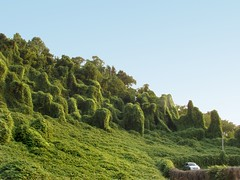 Kudzu taking down a forest.