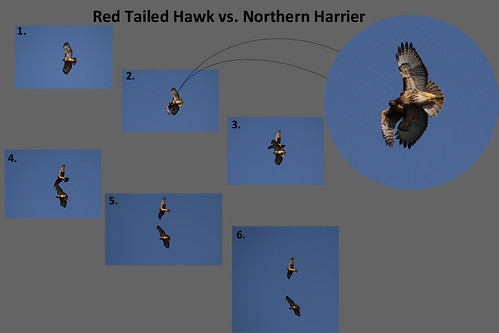 RedTail vs Harrier