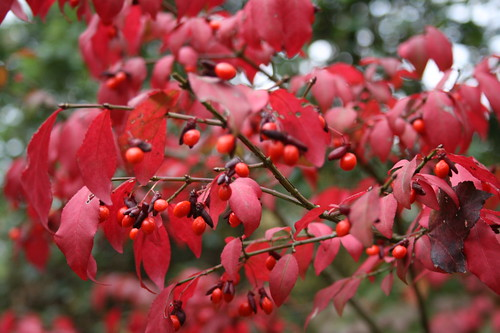 Red leaves and berries of the Burning Bush