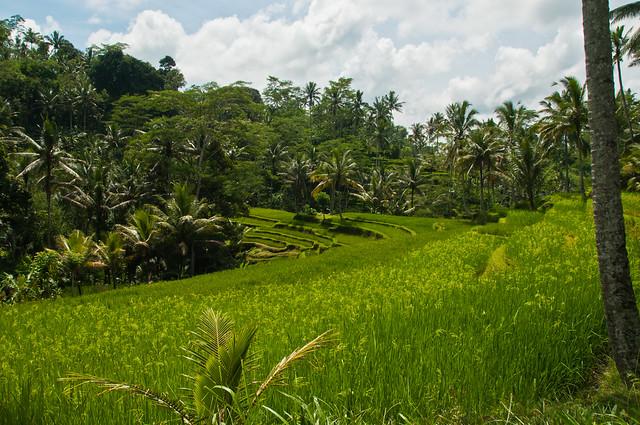 Rice Terraces near Gunung Kawi