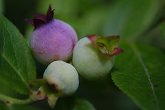Early Lowbush Blueberry