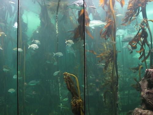 Kelp forest in aquarium