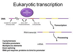 Eukaryotic transcription overview