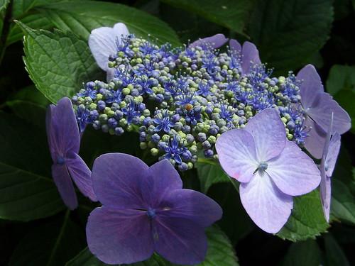 Hortensia purple & blue