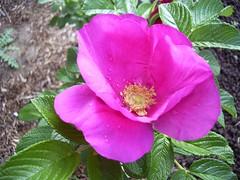 Rose Rosa rugosa