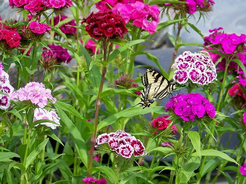 Butterfly & Sweet Williams