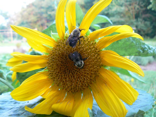 two bees on sunflower-1
