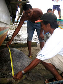 Measuring the green sea turtle