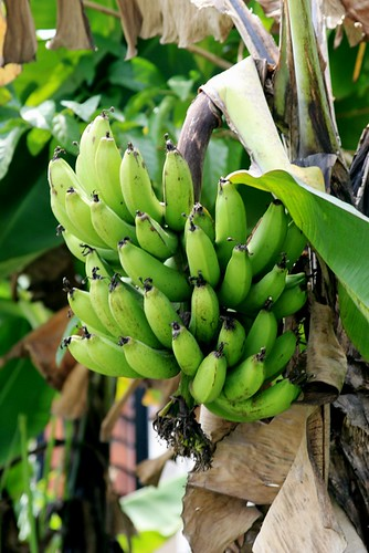 Bananas IMG_1318 by tk_yeoh.
