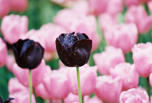 emirgan,istanbul, flower, tulip