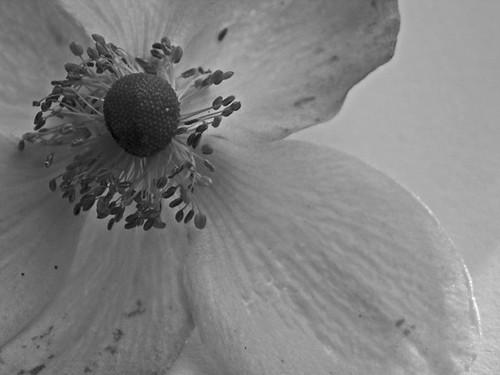 NiBW - Flower