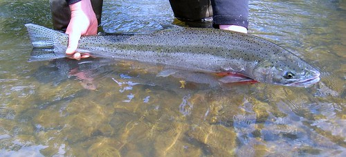 Willamette River Steelhead, cropped