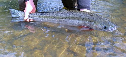 Willamette River Steelhead, cropped