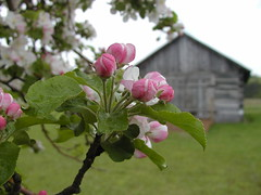 Apples & Old Sheds by Andy McFarlane