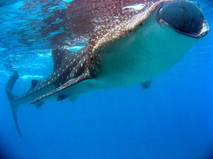 Whale Shark at Gangehi Maavaru, inside the lagoon!