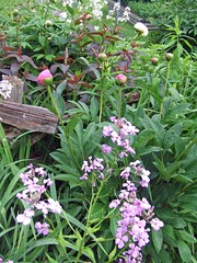 Spring Phlox, Peonies, Lysimachia