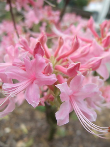 Pinksterbloom Azaleas