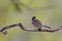 Common Reed Bunting | sävsparv | Emberiza schoeniclus
