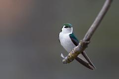 Violet-green Swallow | violettgrön svala | Tachycineta thalassina