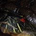 Blöt sköldpadda (vått skal)
