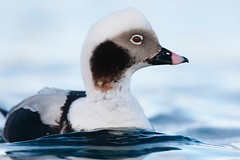 Long-tailed Duck | alfågel | Clangula hyemalis