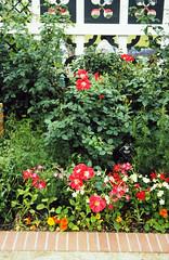 Aug86 19 - Roses and Elizabethan Walk