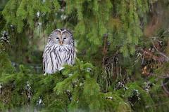 Ural Owl | slaguggla  | Strix uralensis | Uppsala, Sweden | Dec 2015