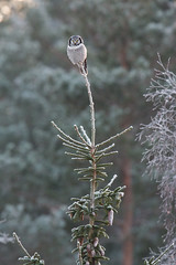 Northern Hawk-Owl | hökuggla | Surnia ulula | Stockholm, Sweden | January 2016