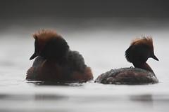 Horned Grebe | svarthakedopping | Podiceps auritus