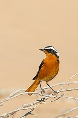 Moussier's Redstart | diademrödstjärt | Phoenicurus moussieri