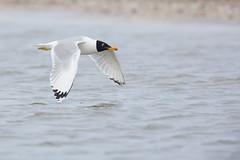 Great Black-headed Gull in flight