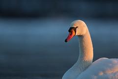 Mute Swan | knölsvan | Cygnus olor