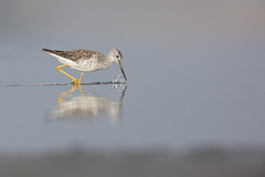 Greater Yellowlegs | större gulbena | Tringa melanoleuca