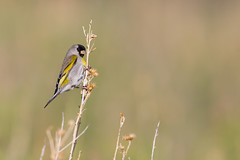Lawrence's Goldfinch | kaliforniensiska  | Spinus lawrencei