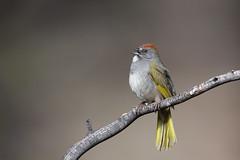 Green-tailed Towhee | grönstjärtad busksparv | Pipilo chlorurus