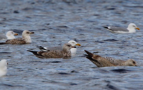 "American Herring Gull, Drift, 12.04.16 (M.Halliday) • <a style=""font-size:0.8em;"" href=""http://www.flickr.com/photos/30837261@N07/26398245846/"" target=""_blank"">View on Flickr</a>"