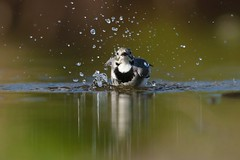 White Wagtail bathing