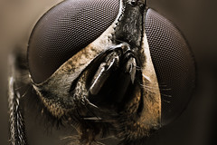 Common Housefly Closeup Portrait