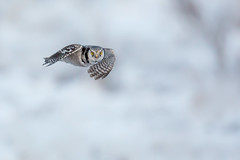 Northern Hawk-Owl | hökuggla | Surnia ulula | Stockholm, Sweden | January 2016