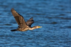 Great Cormorant | storskarv | Phalacrocorax carbo
