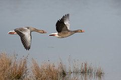 Greylag Goose | grågås | Anser anser