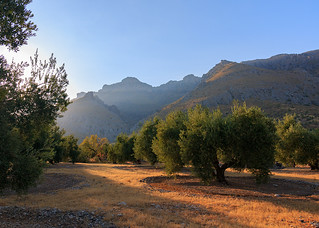 Amancer en el olivar cerca de Bedmar - Jaén