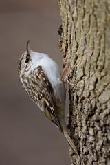 Eurasian Treecreeper | trädkrypare | Certhia familiaris